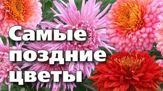 КОРЕЙСКИЕ ХРИЗАНТЕМЫ. Цветут долго, зимуют без проблем