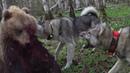 Охота на Медведя Разодрал Лося и залез от собак на дерево