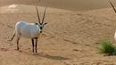 Животный мир Дубая. Wild Dubai.Animal Planet HD. Дикая природа Арабских Эмиратов.