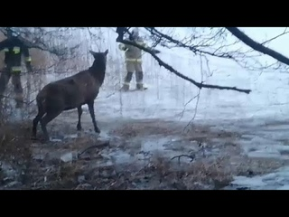 Польские пожарные спасли провалившихся под лед оленей