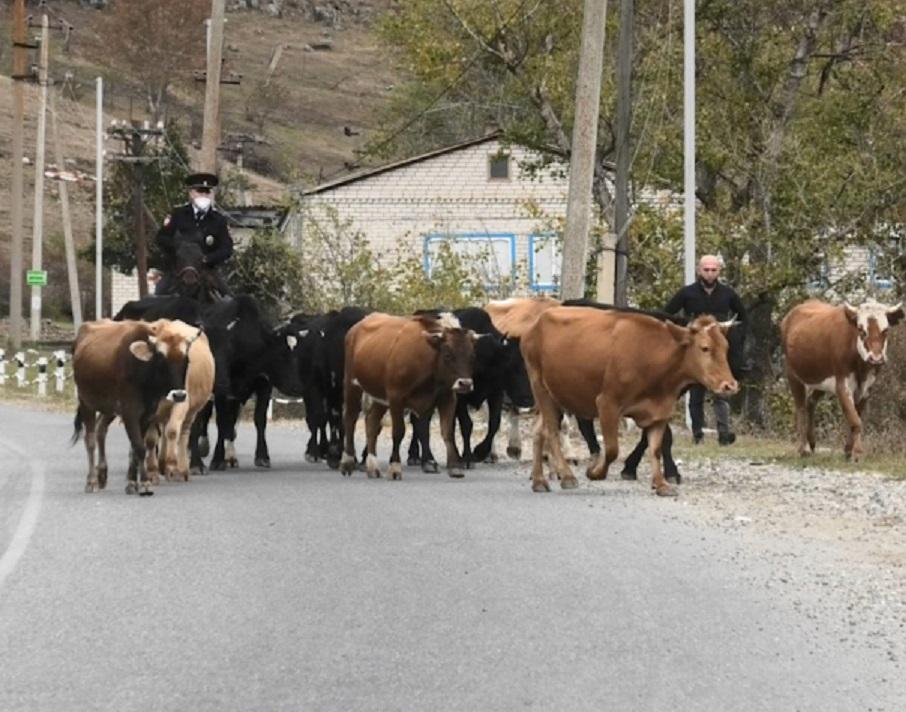 В КЧР увеличилось число ДТП из-за крупного рогатого скота