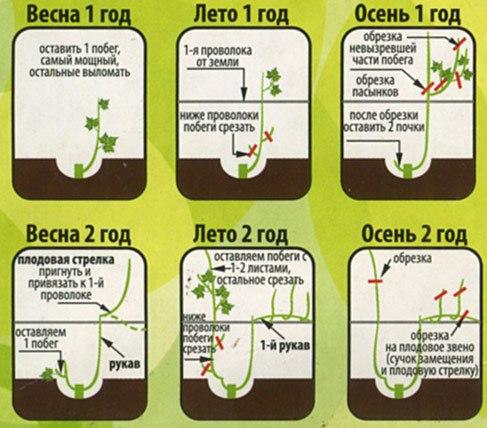 Схема обрезки винограда