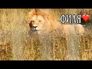 Любимый Филечка, прости...💔  Тайган. Лев Филя....Life of lions. Taigan.