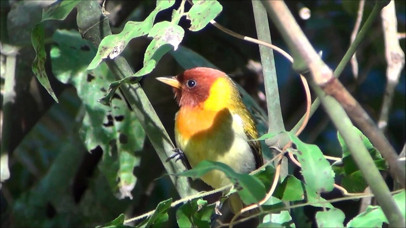 Rufous-headed tanager Красноголовая славковая танагра Hemithraupis ruficapilla
