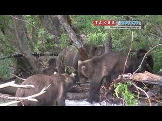 Очередное нападение медведя на туристов в Ергаках - один человек погиб