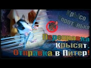 """Отправка крысят в Санкт Петербург! 🤔 В отряд """"Бежит Орёт"""". 🐭 (Fancy Rats) 🐭 Декоративные крысы."""