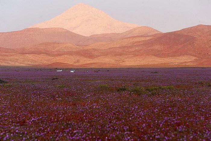 Цветущая пустыня Атакама, изображение №4