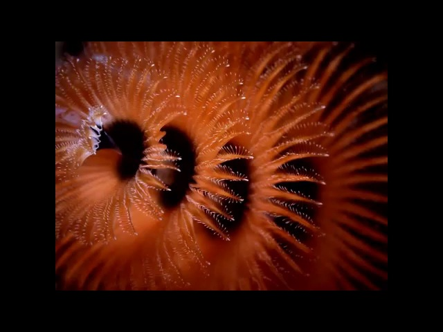 Spyro - Spirobranchus Giganteus