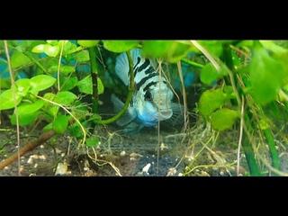 Рыбная разводня Александра(часть вторая)\аквариумные рыбки\креветки