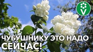 КАК ПОУХАЖИВАТЬ ЗА САДОВЫМ ЖАСМИНОМ?! Вот что гарантирует шикарное цветение!