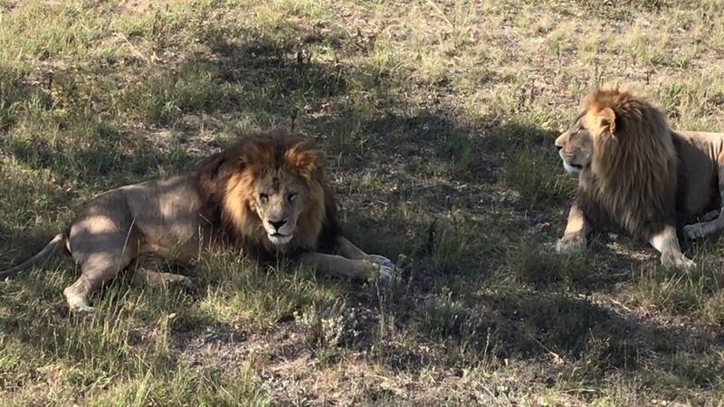 Прайд Олежки в утренней саванне Тайган Крым Lions Taigan Safari Park Crimea