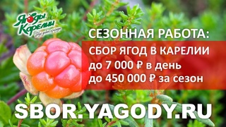 Сбор ягод в Карелии. Сезонная работа. До 450 000Р за сезон. Люди едут со всей России и СНГ