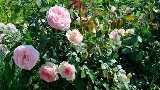 Как пересадить взрослую розу на новое место. Время пересадки розы
