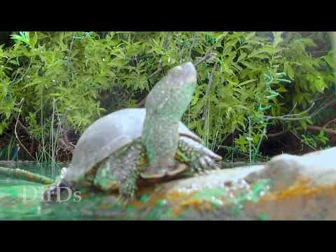 Европейская Болотная черепаха Видео для релаксации