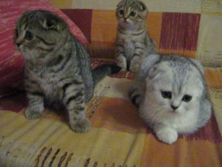Милые котята (шотландские вислоухие)
