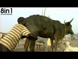 Суданский традиционный способ заставить корову давать больше молока, Африка, Эфиопия, Южный Судан / ethiopian-head-ass-cow - Los Pueblos del Rift Valle - method. how to get more milk from cows, Ethiopia, South Sudan, Africa