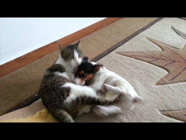 Jack Russell Terrier Takhs vs Cat