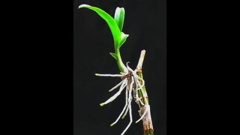 орхидея дендробиум воздушные корни стричь фото папы-британца