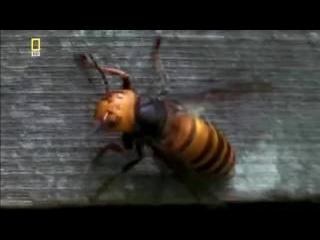Гигантские Шершни скармливают пчёл своим личинкам