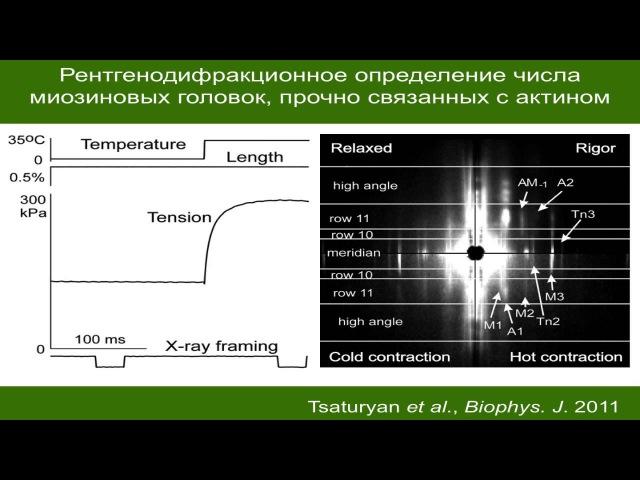 Цатурян А.К. Механизмы работы и регуляции актин-миозинового мотора поперечно-полосатых мышц