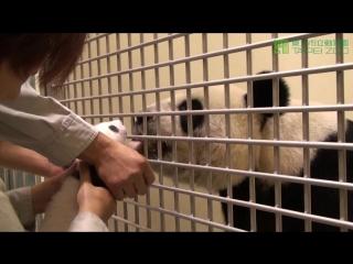 Giant panda yuan zais journal with chinese narrator (english subtitle available)
