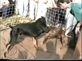 Питбуль Vs Ротвейлер (Fighting Dogs) Собачьи бои: Pitbull против Rottweiler