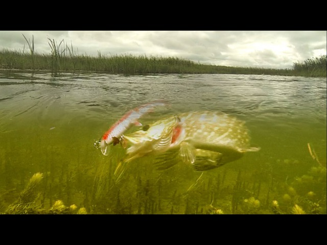 Pike attack baby Tommy the Trout fishing lure in action Рыбалка щука атакует приманку Томми