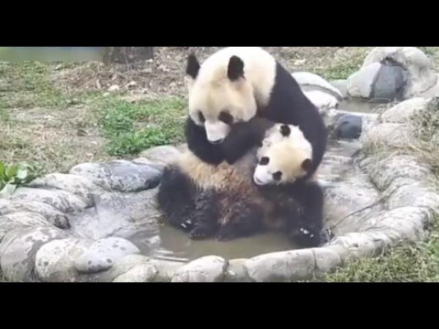 Водные процедуры малыш-панда пытается избежать купания