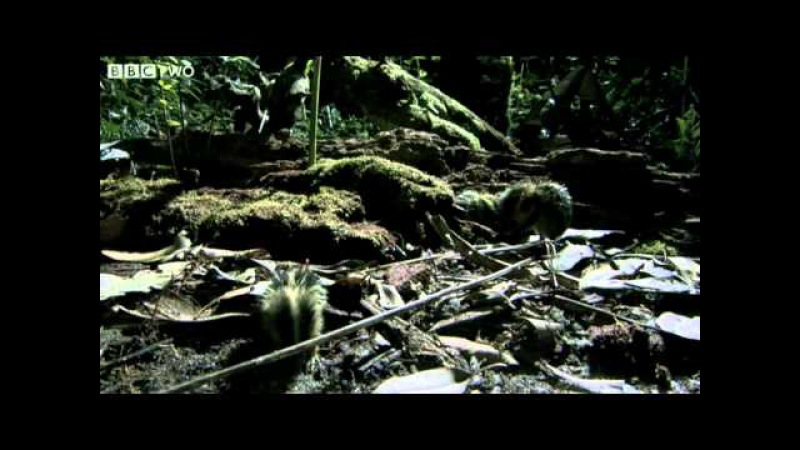 Madagascan Tenrecs Use Quills To Communicate Madagascar Lost Worlds Preview BBC Two
