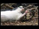 Snake Kills Rodent Which Fascinates Baby Capuchin | Wild Brazil | BBC Earth