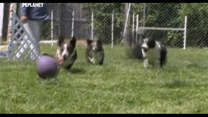 Введение в собаковедение Серия №21