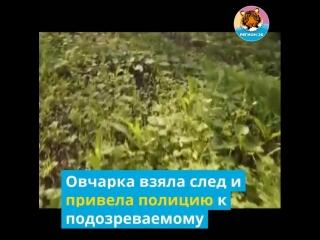 Служебный пёс по кличке МВД помог раскрыть преступление.mp4