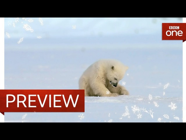 Polar bear cub is surprised by a seal Snow Bears Preview BBC One