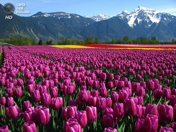 Тюльпаны Рабочие Обои