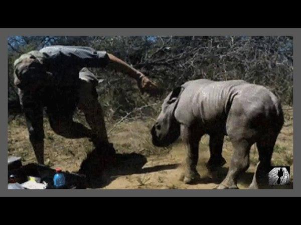 Rinoceronte bebé intenta proteger a su madre de los veterinarios смотреть онлайн без регистрации