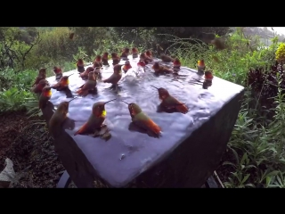 Hummingbird pool party number five! (vhs video)