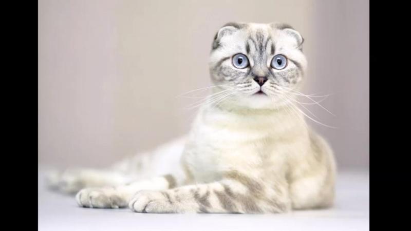 Обаяние шотландской вислоухой кошки.          Chueva T.N.