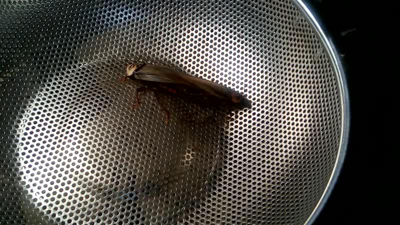 процесс ухаживания и спаривания тараканов вида Eublaberus posticus