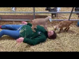Крошечная коза топает на женском лице || ViralHog