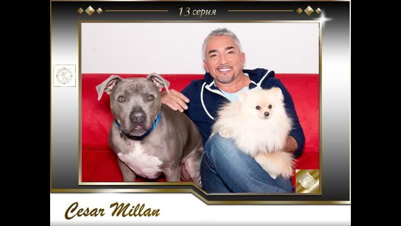 13 серия Сезар Миллан Переводчик с собачьего Sunshine Teddy