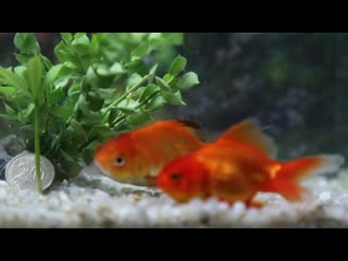 Beauty of goldfish hd 1080p (1).mp4
