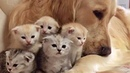 Golden Retriever Patiently Watching Newborn Kittens