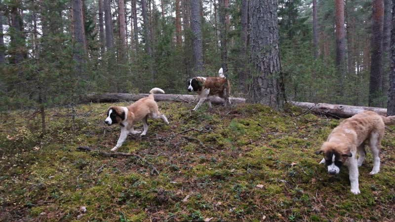 В лесу. МС Нарина, Вилора и Видана. Щенки (4 мес 7 дн) - продаются!