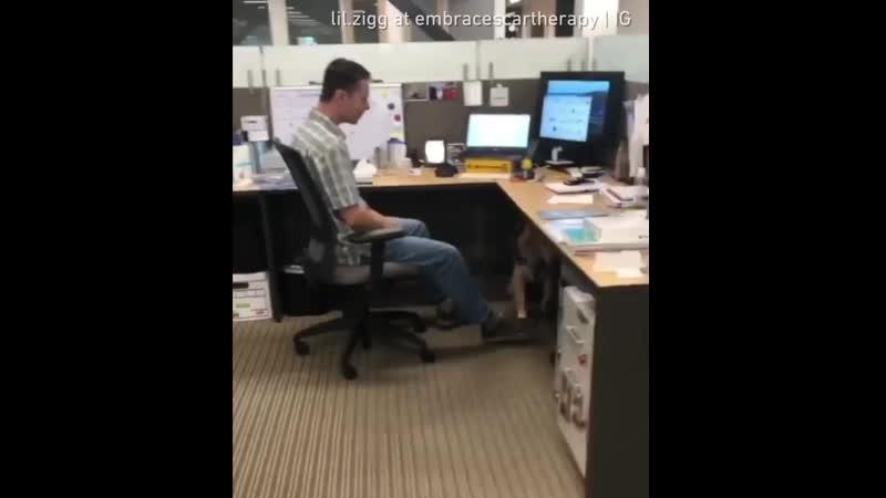 Золотистый ретривер поднимает мораль в офисе