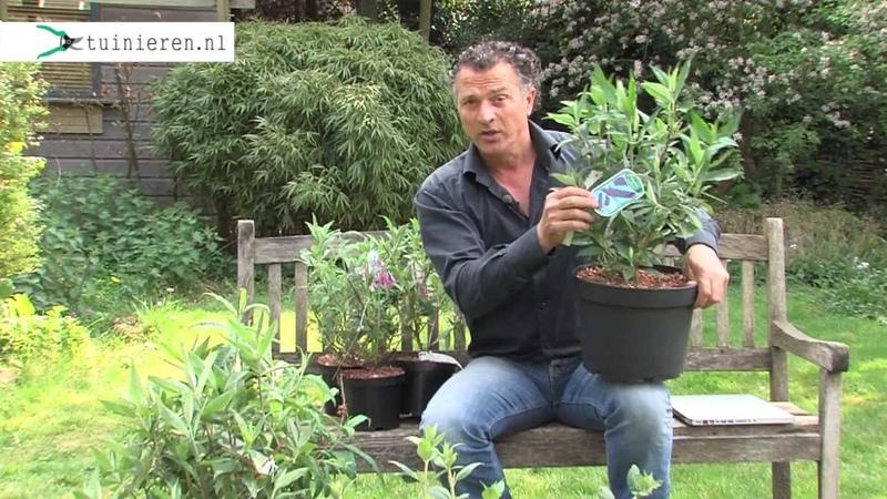 Vlinderstruik planten in de tuin