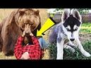 Егерь приютил лайку маленьким щенком... А когда собака подросла, то спасла его от медведя в тайге...