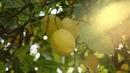 Обрести Несметное Богатство МАГИЧЕСКАЯ Музыка Обилие Всего И Достаток Лимонное ДЕРЕВО
