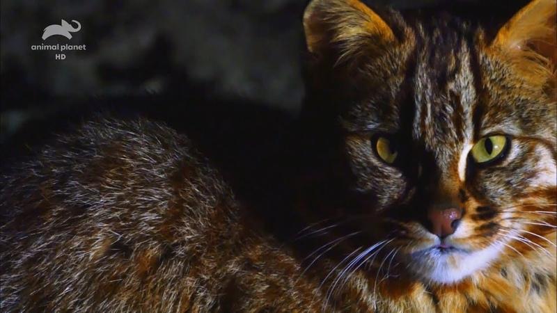 Живой или вымерший Яванский тигр Full HD 1080i