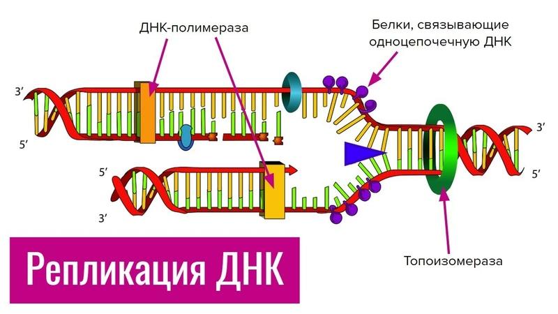 Репликация ДНК | самое простое объяснение
