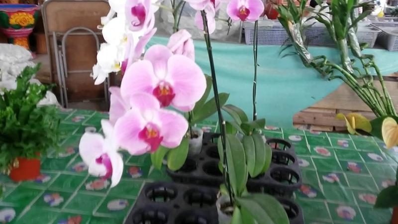 Орхидеи Коробка 10-12 штук 100 батт за 200 руб. на Тепразите Джомтьен Паттайя Тайланд Дешево 2019